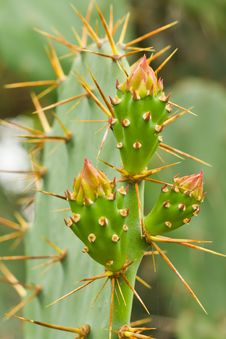 Free Prickly Pear Cactus Royalty Free Stock Photo - 26033245