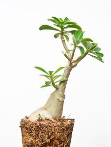 Free Desert Rose Or Ping Bignonia Royalty Free Stock Images - 26033789