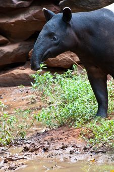 Malayan Tapir &x28;tapirus Indicus&x29; Stock Image