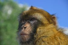 Free Monkey Looking For Food Stock Images - 26037434