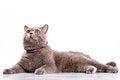 Free British Cat Royalty Free Stock Images - 26040089