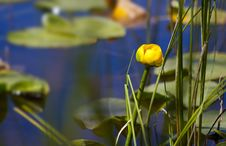 Free Yellow Water Flower Stock Photos - 26040293