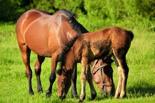 Red Horse With A Foal. Stock Image
