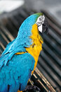 Free Portrait Macaw Parrot Stock Photography - 26052252