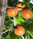 Free Apricots Royalty Free Stock Images - 26053719