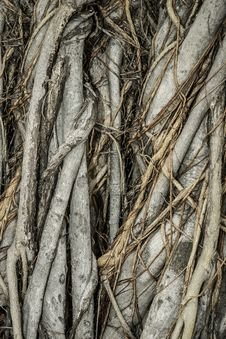 Free Close-up Of Parasite Tree Royalty Free Stock Photos - 26050338