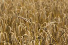 Free Stems Of  Wheat Stock Photos - 26055223