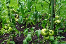 Free Green Tomatoes On The Vine Stock Image - 26055641