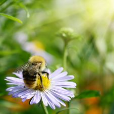 Free Bee On Chamomile Collecting Nectar Or Honey Stock Image - 26057141