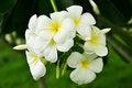 Free Frangipani Flower Royalty Free Stock Photography - 26065107