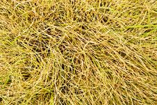 Free Dry Grass Texture Royalty Free Stock Image - 26063366