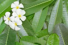White Frangipani Flower Stock Image
