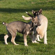 Free Three Puppies Of Alaskan Husky Royalty Free Stock Photography - 26068107