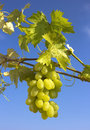 Free Bunch Of Grapes Stock Photo - 26072200
