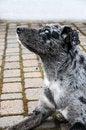 Free Australian Shepherd Royalty Free Stock Image - 26073456