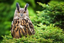 Free Eagle Owl Stock Photography - 26075802