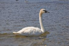 Free Trumpeter Swan Stock Photo - 26075990