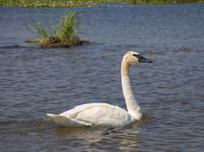 Free Trumpeter Swan Royalty Free Stock Image - 26076026