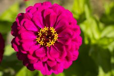 Free Zinnia Flower Stock Photography - 26076042