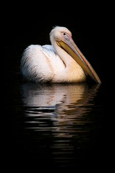 Free Great White Pelican Stock Images - 26076224
