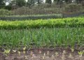 Free Vegetable Garden. Royalty Free Stock Image - 26080926