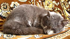 Free The Grey Cat Sleeps On A Sofa Royalty Free Stock Image - 26080126