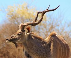 Free Kudu Bull - The Grey Ghost Royalty Free Stock Photo - 26081385