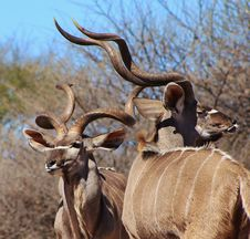 Free Kudu Bulls - Kings Of Deception Stock Photo - 26081430
