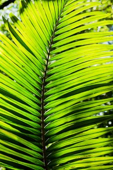 Free Palm Tree Leaf Royalty Free Stock Images - 26081469