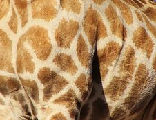 Free Natural Patterns - Giraffe Stock Images - 26082394