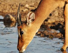Free Impala - Crisp Water For The Thirsty Royalty Free Stock Image - 26082756