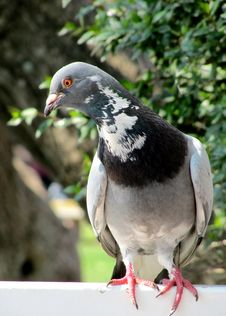 City Bird Pigeon Royalty Free Stock Photos