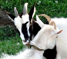 Free Two Lovely Goats Royalty Free Stock Image - 26083006