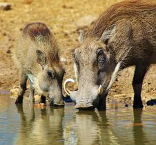 Free Warthog - Mother And Piglet Royalty Free Stock Image - 26085966