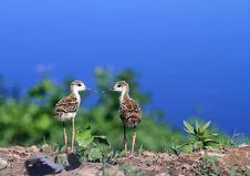 Free Black-necked Stilt Chicks Stock Image - 26085981