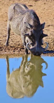 Free Warthog - Boar Reflection Stock Images - 26086044