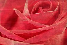 Closeup Rose Flower Royalty Free Stock Photos