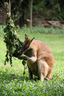 Kangaroo Eating In A Zoo Royalty Free Stock Images
