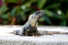Free Mexican Iguana Stock Images - 26089564