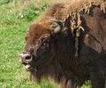 Free Bison Eyes Stock Photo - 26095270