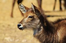 Free Waterbuck - Young Eyes Stock Images - 26091874
