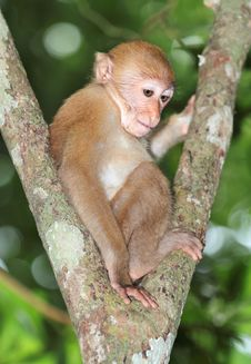Free Little Monkey Royalty Free Stock Images - 26093069