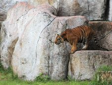 Free Tiger Royalty Free Stock Photography - 26093477