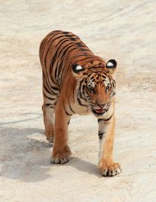 Free Bengal Tiger Royalty Free Stock Photos - 26093568