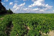 Free Potato Farm Stock Image - 26094681