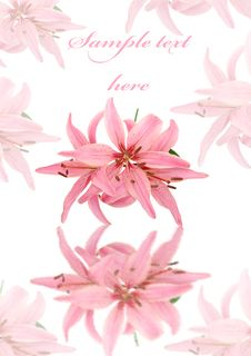 Free Greeting Card With Pink Soft Lily Isolated Stock Image - 26094721