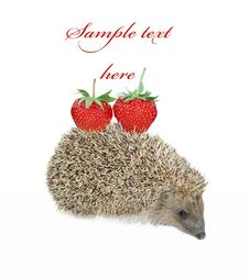 Free Hedgehog With Strawberry Isolated On White Royalty Free Stock Photo - 26094735