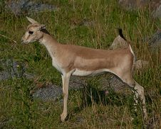 Free Standing Little Antelope Stock Images - 26095164
