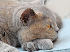 Free Wistful Pedigree Cat Pose Stock Images - 26095234