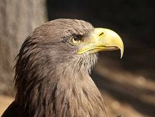 Free Head Of An Eagle Stock Image - 26095281